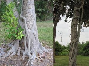 Fig pair